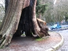 The Hollow Tree in Stanley Park, Vancouver, soon to be cut down