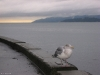 A seagull in the rain on the Vancouver Seawall